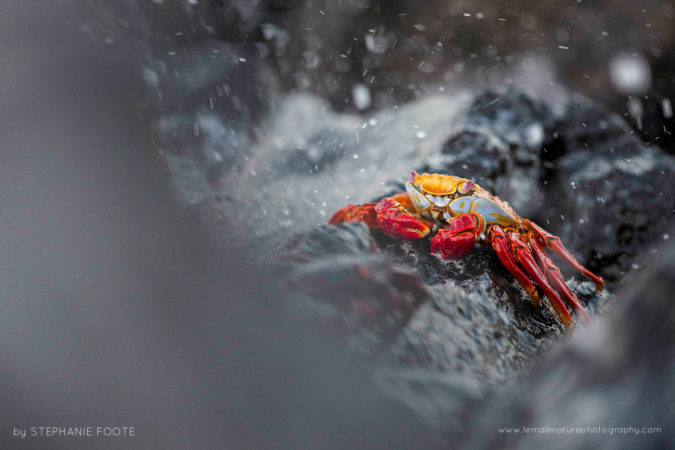 Sally Light Foot Crab - Santa Cruz Island Galapagos