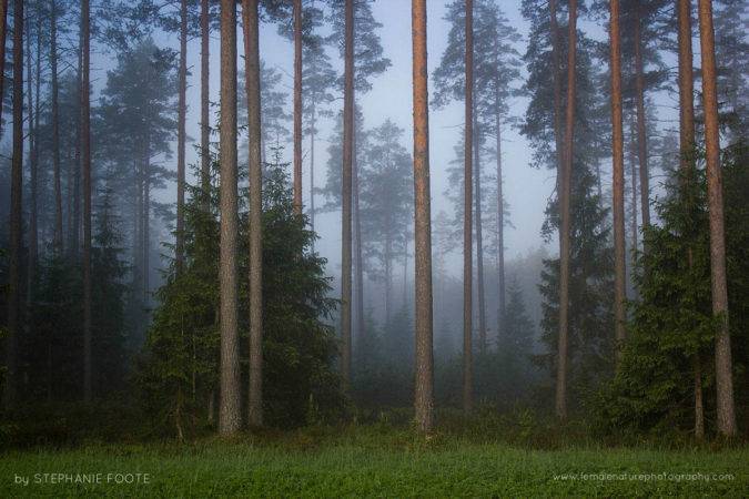 Estonian Forest At Dawn - Estonia