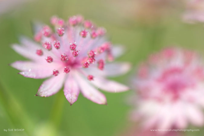 Astrantia with water droplets