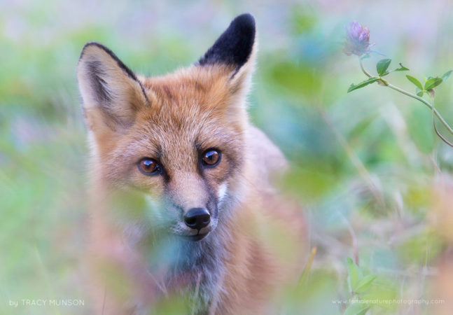 A wild but fearless and curious fox, checking me out and posing for portraits in the Saguenay Region of Quebec.