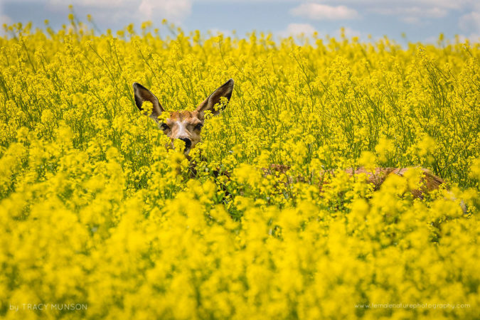 """Canola Deer: A doe """"hides"""" in a field of canola."""