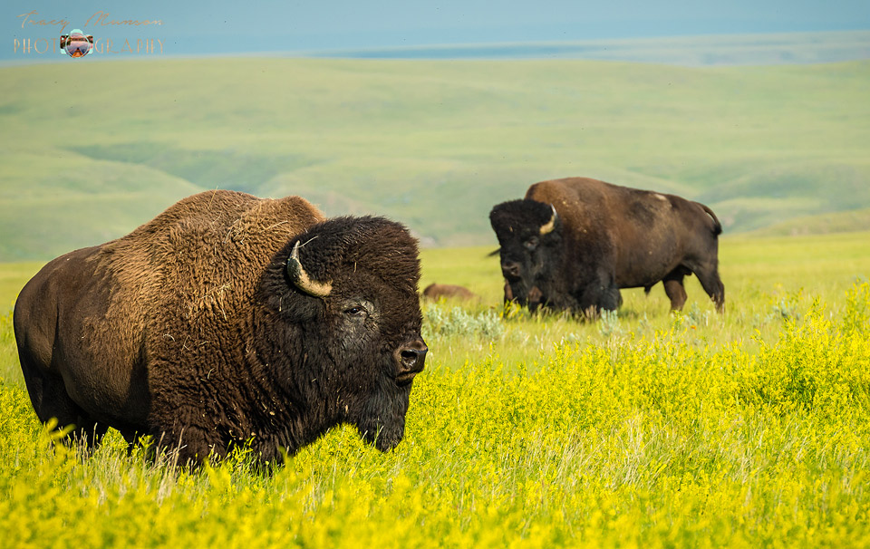 Free roaming bison in a field of canola, Grasslands National Park, Saskatchewan.