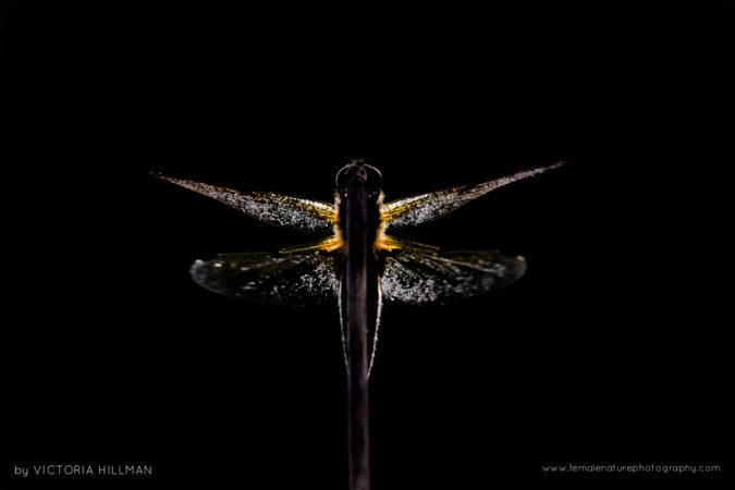 All A Flutter - Four Spotted Chaser Dragonfly (Libellula quadrimaculata), Somerset Levels, Somerset, UK