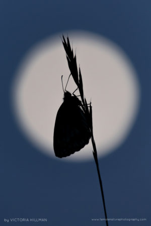 Moonlight Silhouette - Marbled White Butterfly (Melanargia galathea), Cley Hill, Wiltshire, UK