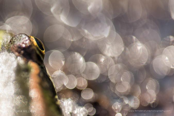 Frog's Eye -  Perez's Frog (Pelophylax perezi), Somerset Levels, Somerset, UK