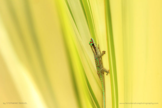 Ornate day gecko among glowing tropical leaves, north of Mauritius