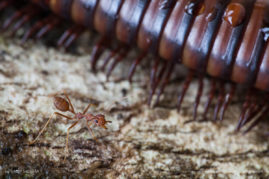 Ant stands next to giant millipede on a tree trunk, Ulu Muda National Reserve, Kedah, Malaysia.