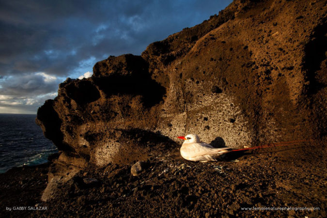 Red-tailed tropicbirds, Phaethon rubricauda,  nest on Round Island. This species nests on small islands in the Indian and Pacific Oceans. Many seabirds nest on Round Island, one of the reasons that visitation is restricted to researchers and government officials.