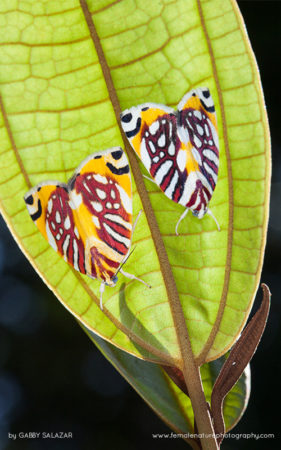 Moths on the underside of a leaf, Kinabalu Summit Trail, Kinabalu National Park, Borneo, Malaysia.