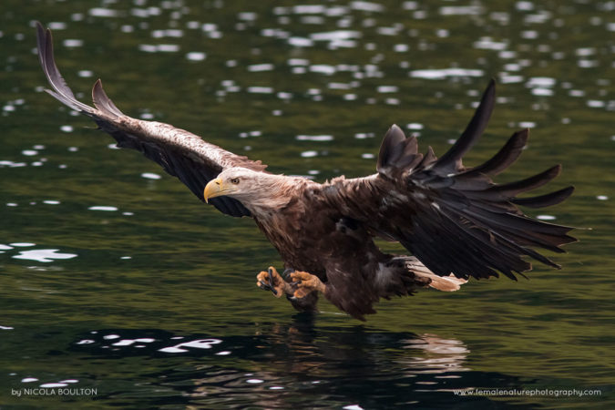 Iconic and massive White-tailed Eagle - Isle of Skye