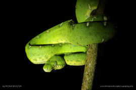 The Emerald Tree Boa - Peru