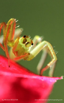 Tiny green arachnid perched on pink Bougainvillea flowers