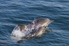 Common dolphin and newborn calf - Isle of Skye