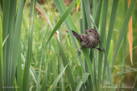 Female Red Winged Blackbird, Alberta