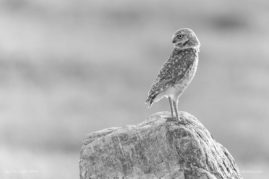 Burrowing Owl Grasslands National Park, Saskatchewan