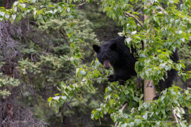 Black Bear In Tree Jasper National Park, Alberta