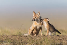 Swift Fox Pup Sharing Secrets, Southern Alberta