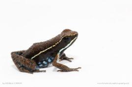 Manu Poison Frog