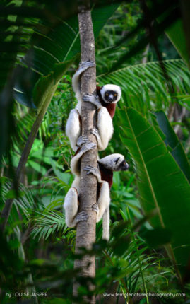 Coquerel's Sifakas in Anjajavy Reserve