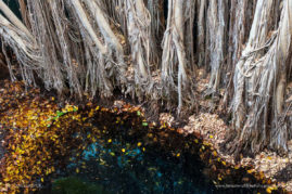 The roots of a great banyan fig enter the subterranean waters of a sink hole in Tsimanampesotse National Park