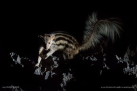 A Grandidier's Vontsira foraging for food at night in Tsimanampesotse National Park
