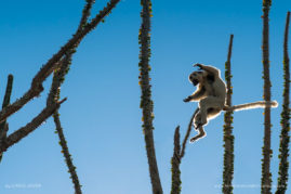 A Verreaux's Sifaka leaps between the spiny branches of Octopus Trees in the Mandrare Valley