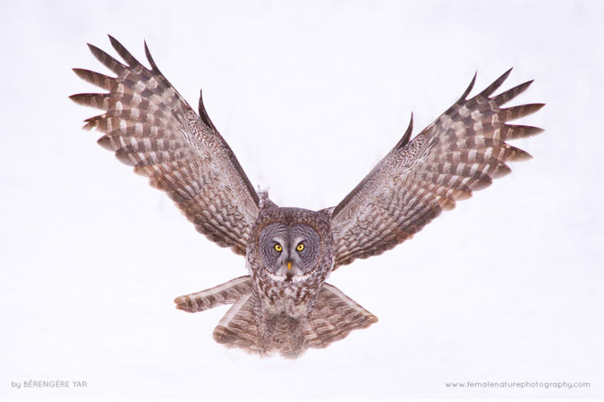 Close encounter or the Great Grey Owl