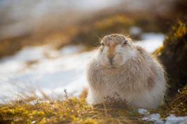 Winter Mountain Hare