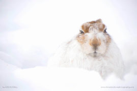Snowy Mountain Hare
