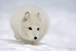 Polar fox running