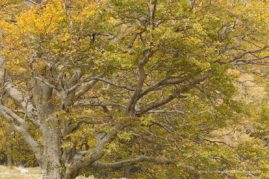 Common beech tree, autumn-beginning, Auvergne, France