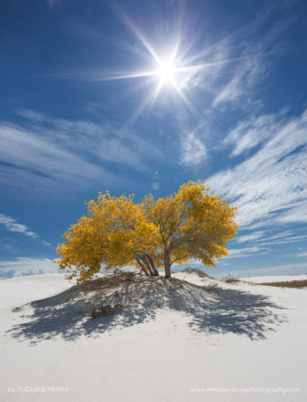 Welcome Shade - This cottonwood tree deep into the dunes of White Sands National Monument provides some welcome shade and a spectacular mid day shot
