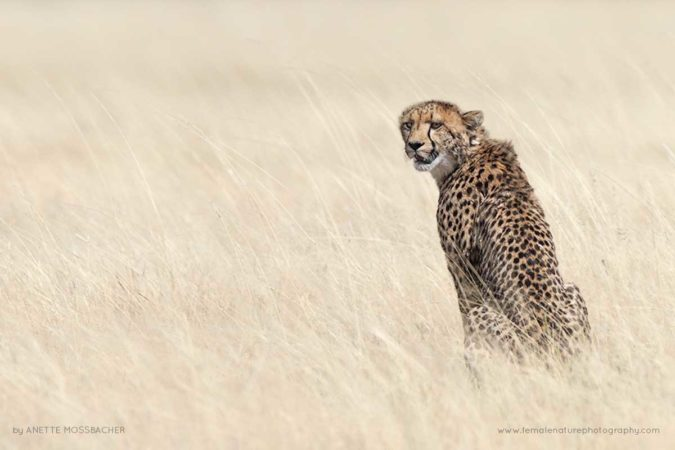 Cheetah sitting in bleached grass. Etosha National Park, Namibia.