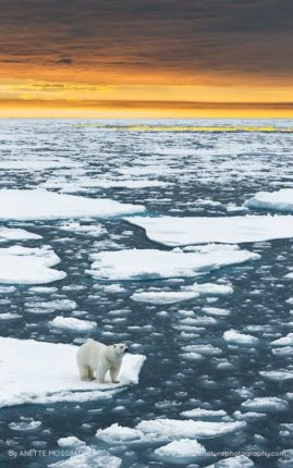Polar bear on standing on an iceberg, sun setting above Arctic Ocean.