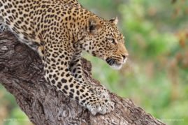 African-Leopard-Stalking, Captured in Botswana