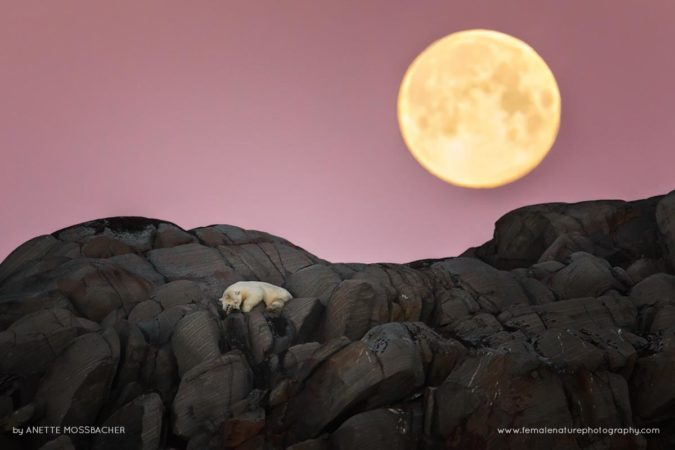 Polar-Bear-Under-Full-Moon, Karl XII Island, Svalbard, Norway