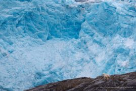 Polar Bear Front Of Nordenskiold Glacier, Svalbard, Norway.