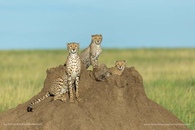 Cheetahs of the Serengeti