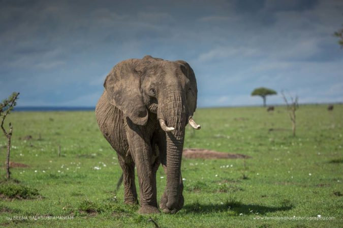 The Gentle giants of the Mara