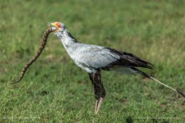 Secretary bird with its meal