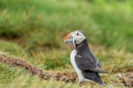 The Atlantic Puffin with sand eels