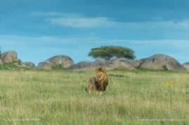Lions of the Serengeti
