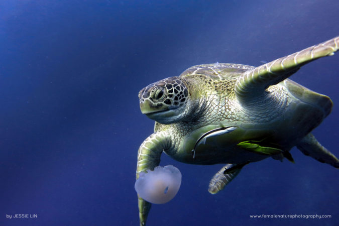 Amazing capture of a sea turtle eating a jelly fish