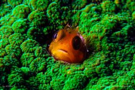 Yellow goby in green hard coral