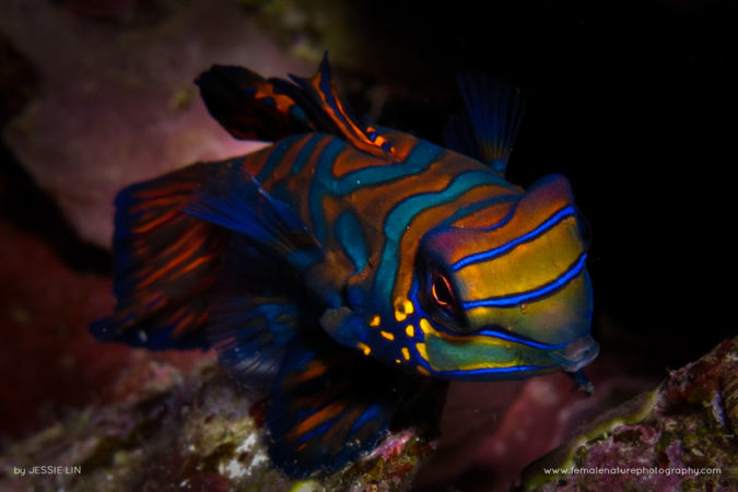 The Mandarin fish and its pretty colours
