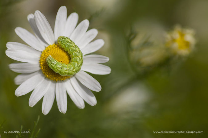 A Chamomile Shark caterpillar on a chamomile flower in a Cornish meadow
