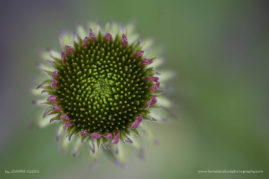 Young Echinacea: A young Cone flower before the petals have opened up.