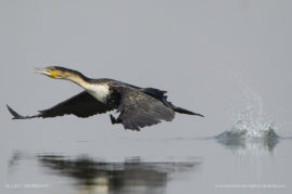 White-breasted Cormorant taking off, Chobe river, Botswana