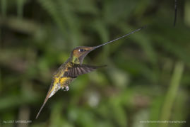 Male Sword-billed Humming Bird. Ecuador