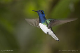 Male White-necked Jacobin, Ecuador